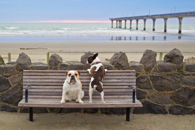 Bulldogs at the beach