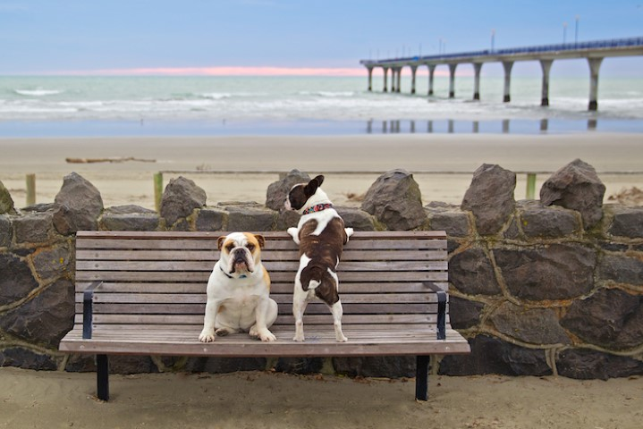 Bulldogs at the beach