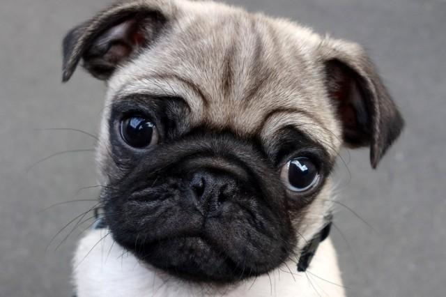 Winston the Pug Puppy