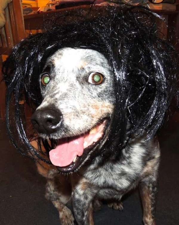 Diesel the dog in a black wig