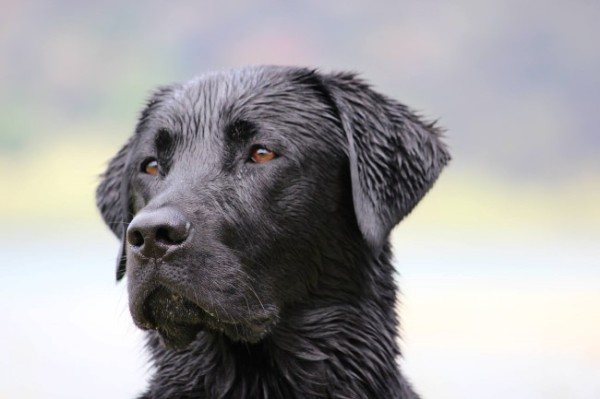 Sam the black Labrador Retreiver