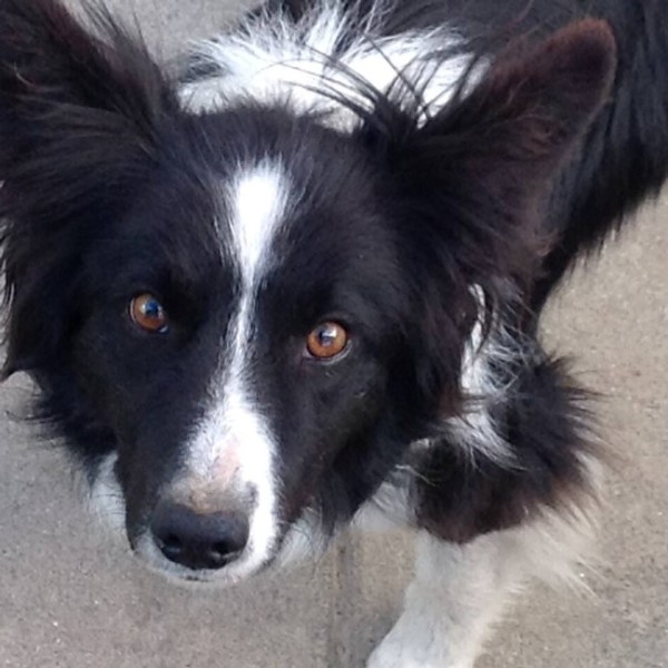 Vader the black and white Border Collie