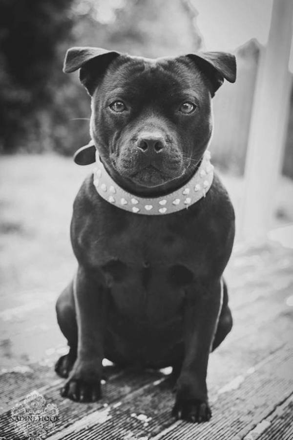 Winifred Jean Mini Cooper Bear, rescued Staffordshire Bull Terrier